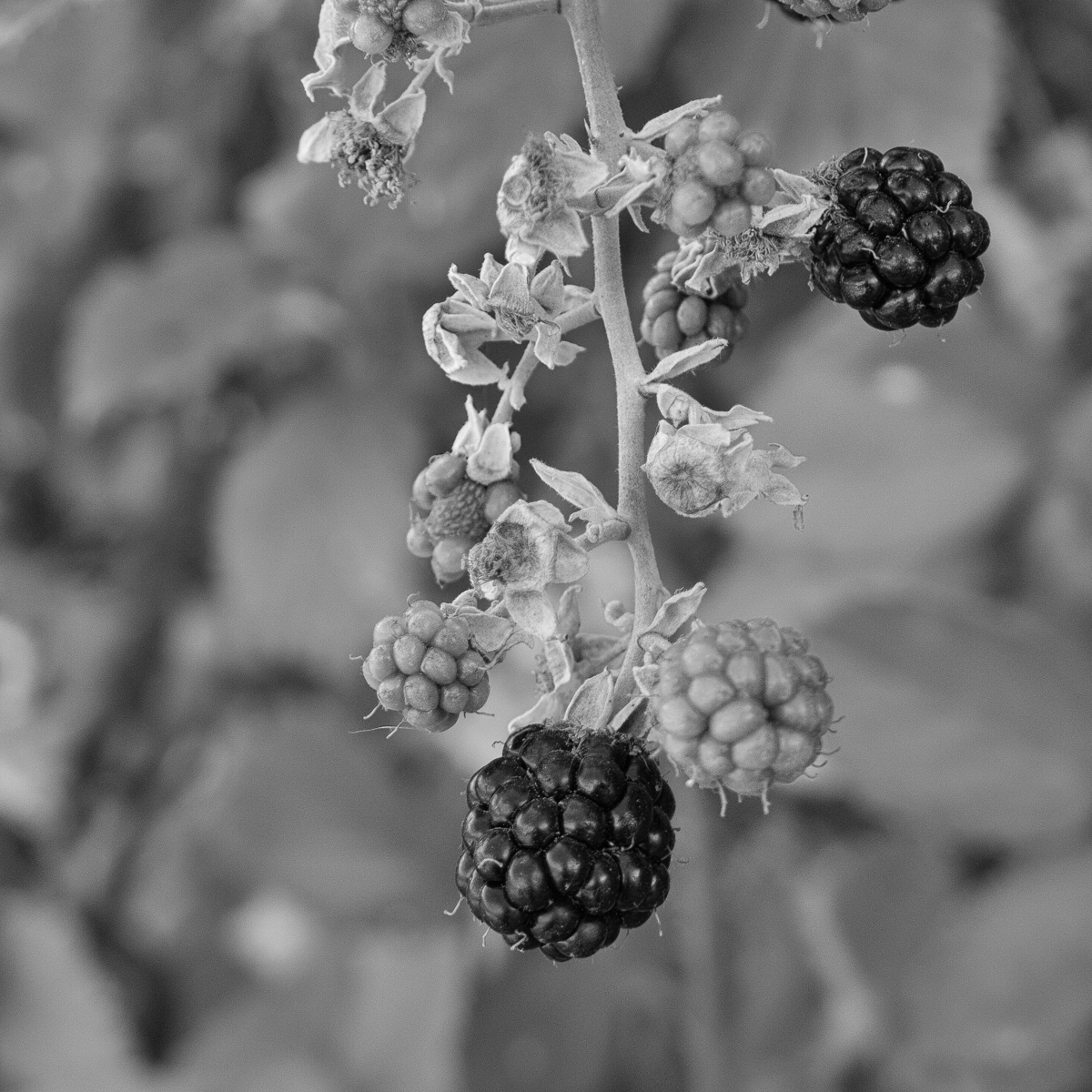 Blackberries, Tuscany, Italy (large view)