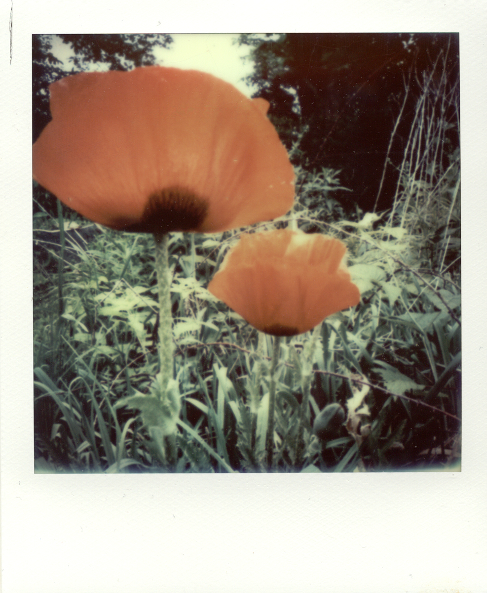 Impossible Poppy (large view)
