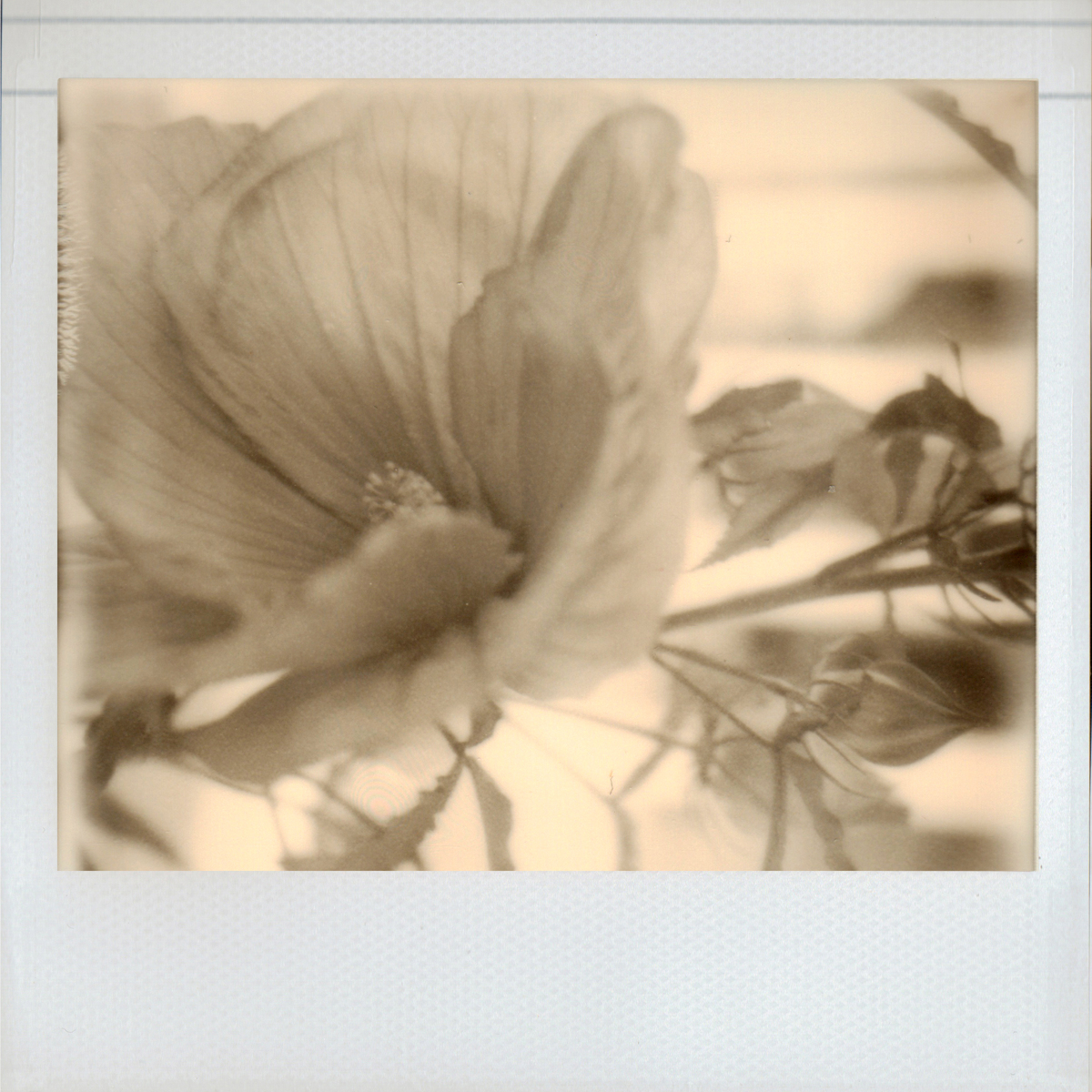 Impossible Hibiscus (large view)