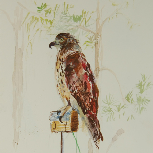 """Nero"" the Red Tailed Hawk"