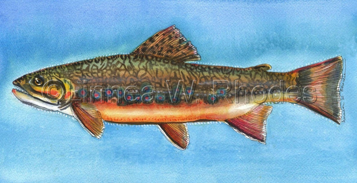 Brook Trout (large view)