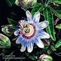 Blue Passion (thumbnail)