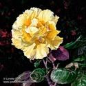 Yellow Rose (thumbnail)