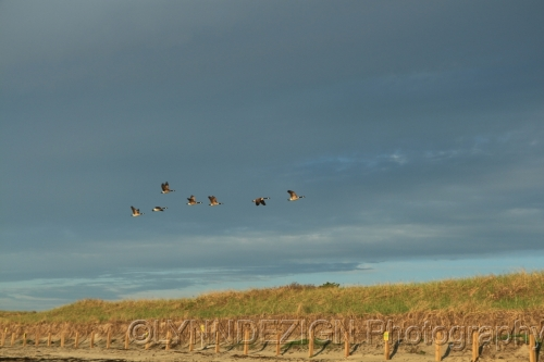 Geese in flight over Ogunquit Beach, Maine
