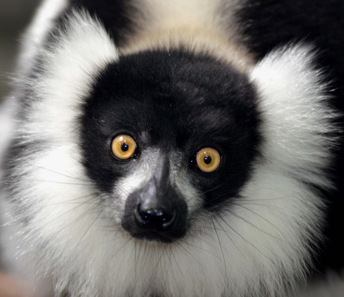 Lemur (large view)