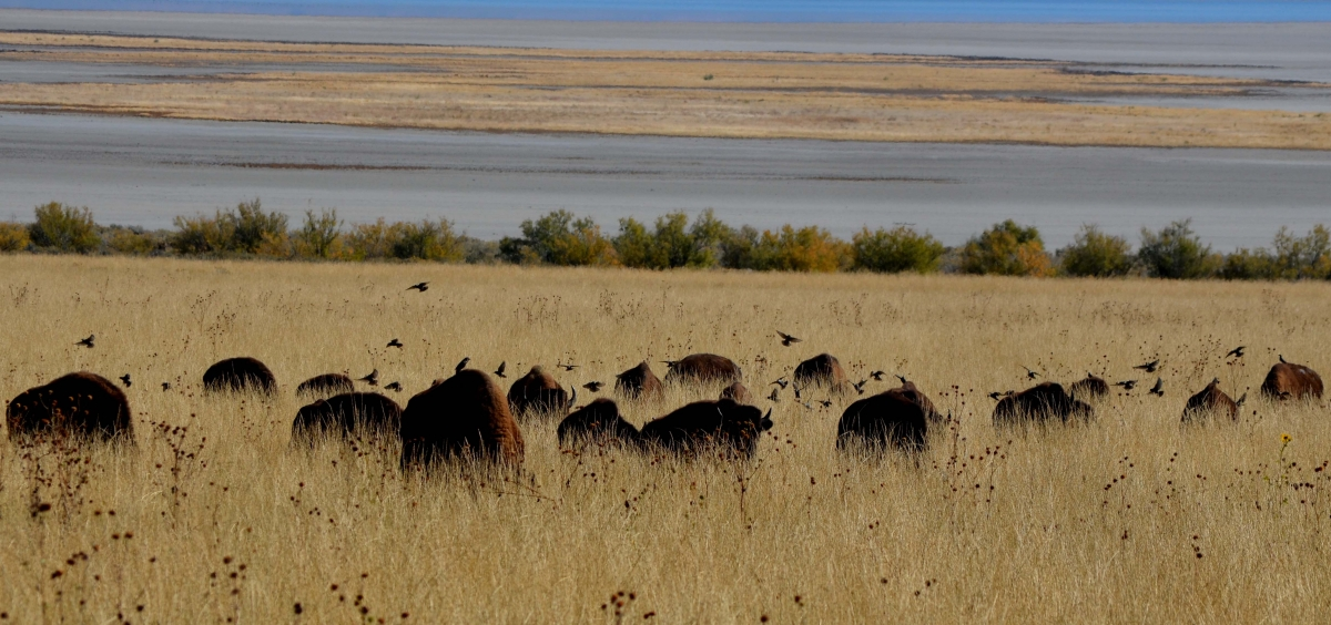 Bison Herd (large view)