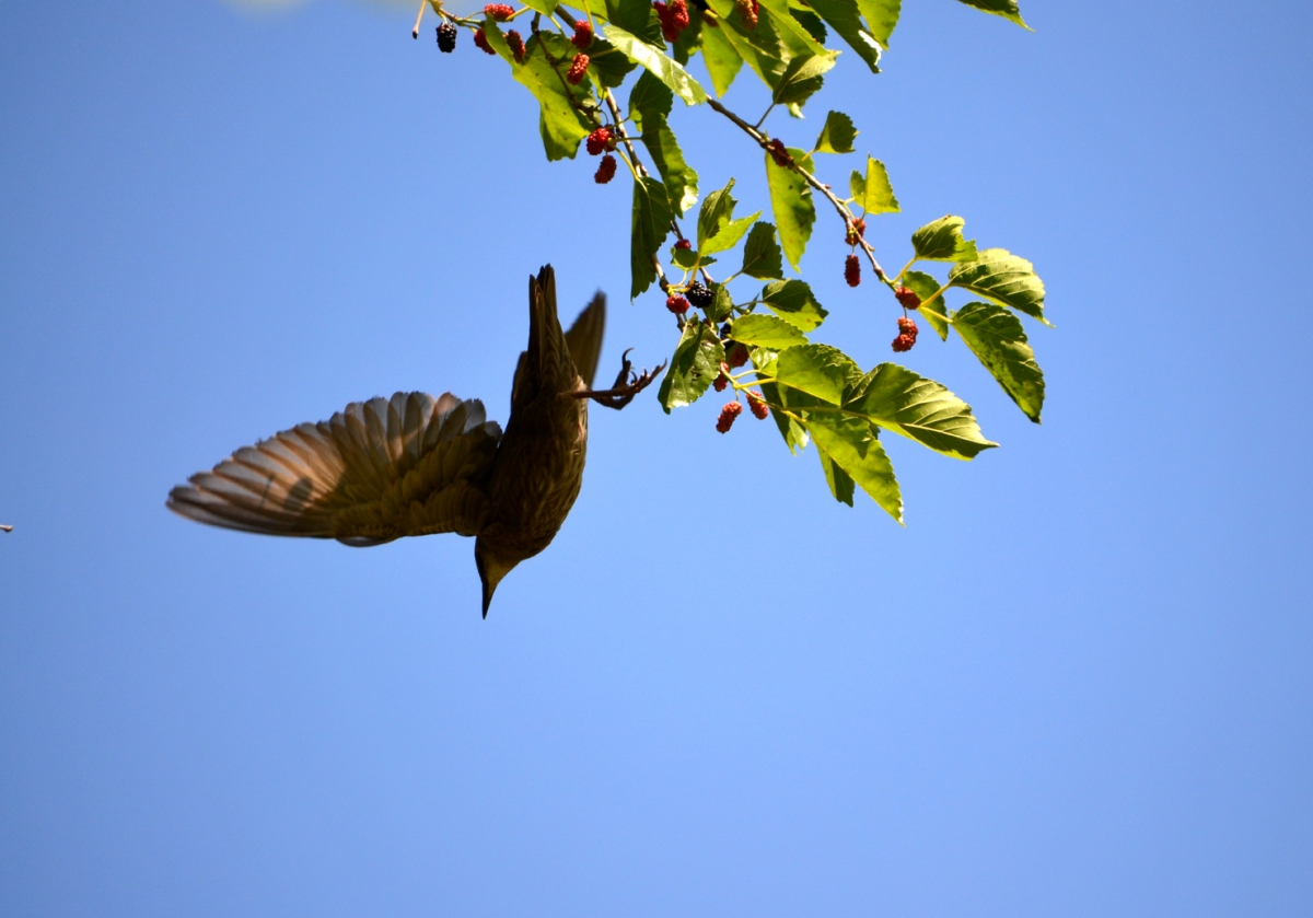 Thrush and  Mulberry Tree (large view)