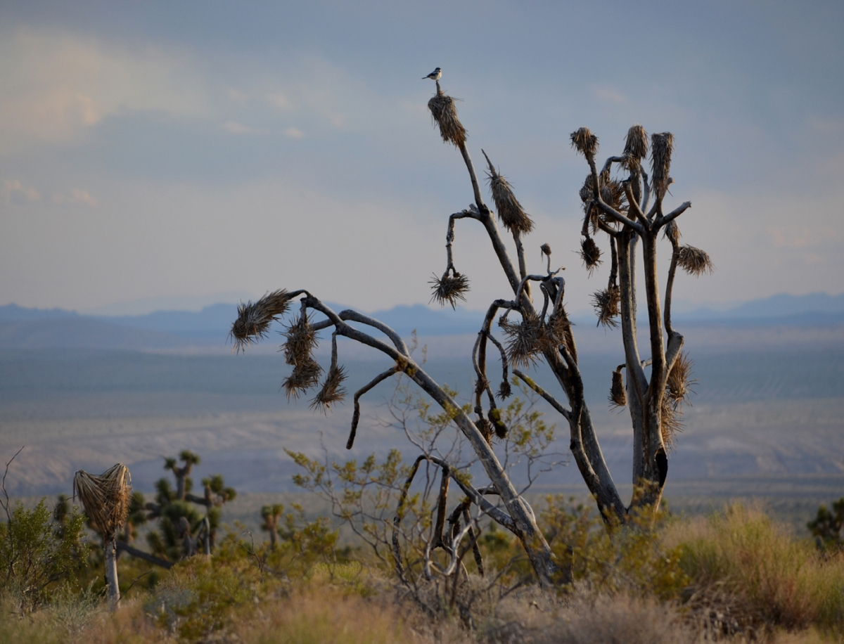 Joshua Tree and Chickadee (large view)