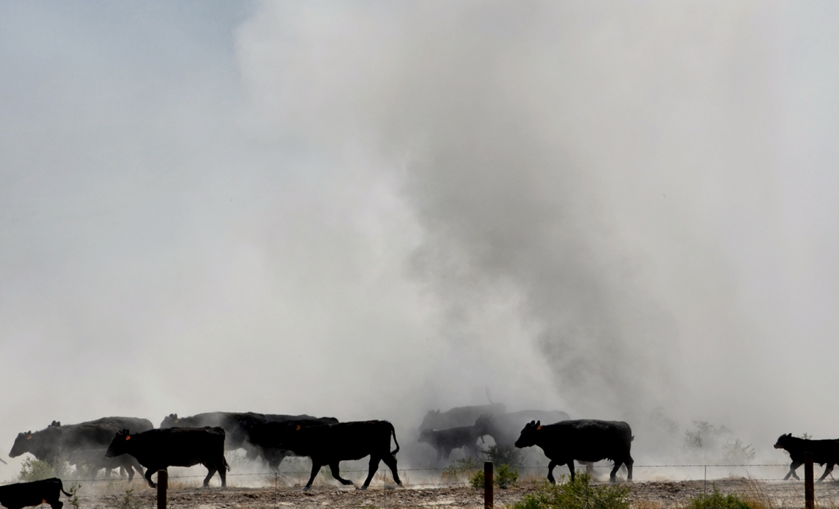 Cattle Drive (large view)