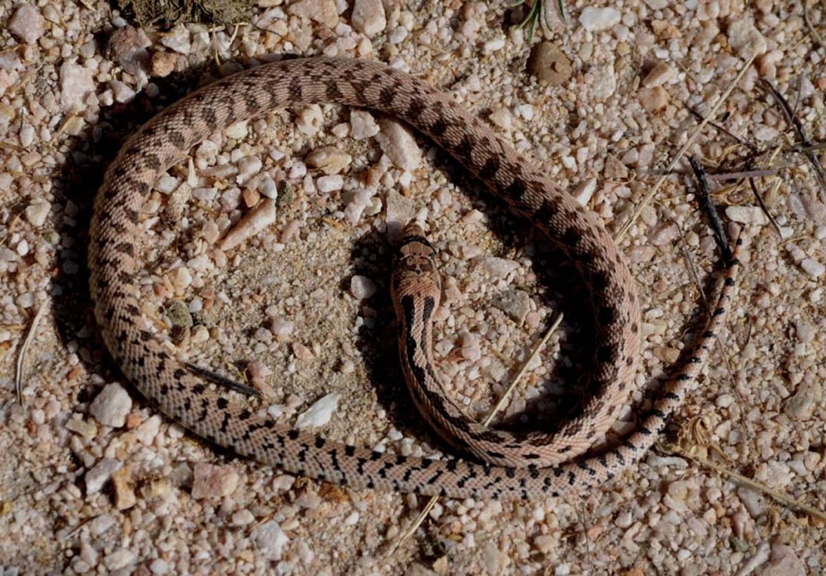 Snake (large view)