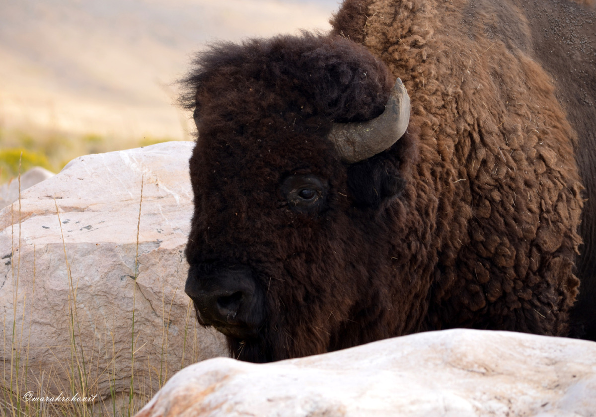 Buffalo Bull (large view)