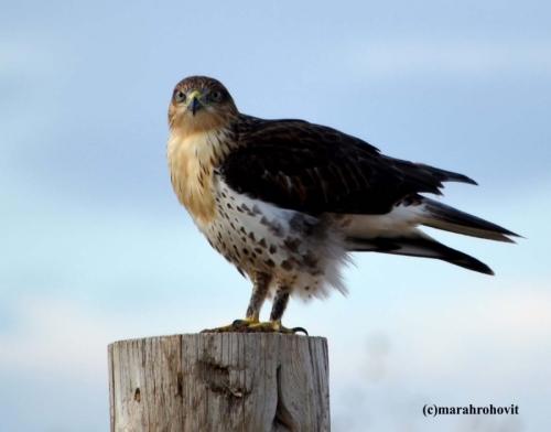 Hawk by marah rohovit photography: