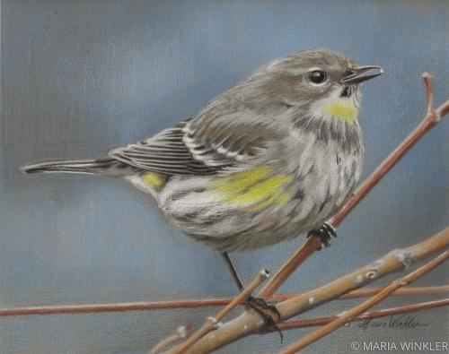 Yellow-rumped Warbler by MARIA WINKLER