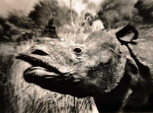 Rhino, American Museum of Natural History, New York (large view)