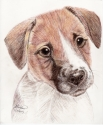 Jack Russell Terrier (thumbnail)
