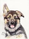 German Shephard Puppy 2 (thumbnail)