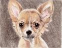 Brown Chihuahua (thumbnail)