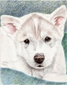 Siberian Husky Puppy (thumbnail)