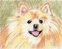 Pomeranian (thumbnail)