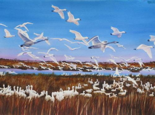Swan Migration
