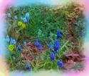 Grape Hyacinth (thumbnail)