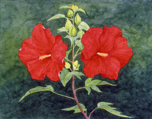 Hibiscus, Lord Baltimore