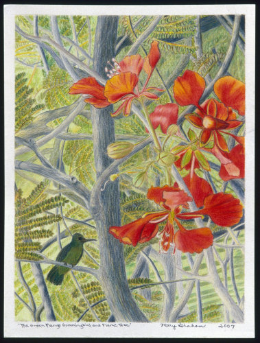 Green Mango Hummingbird & Flame Tree by Mary Muskus Graham