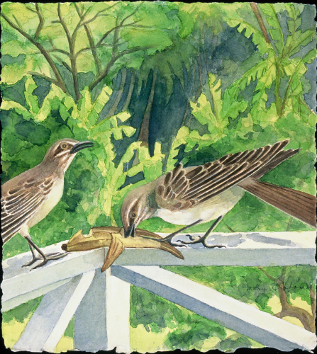 Caribbean Mocking Birds