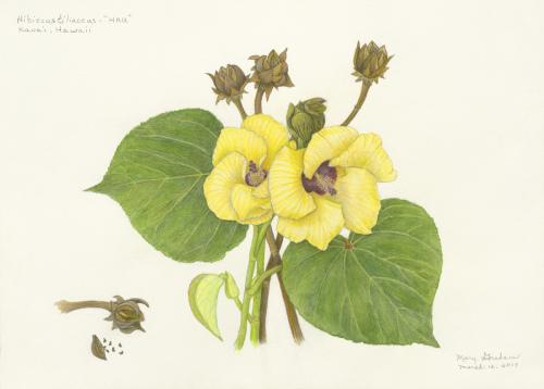 """Hibiscus Tiliaccus - """"HAU"""""""