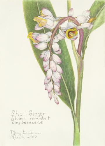 Shell Ginger