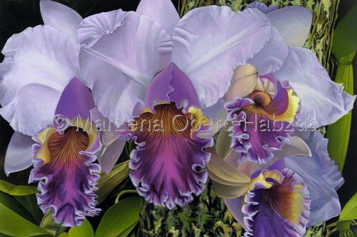 Blue Heaven Orchid