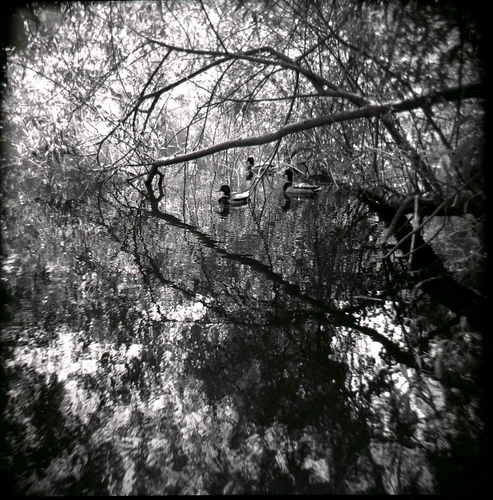 Duck Pond and Reflection