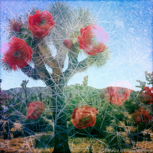 Cactus Blooms in Red