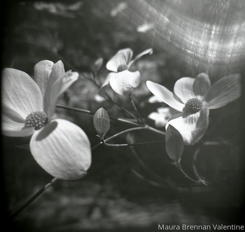 Dancing Dogwood Flowers