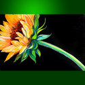 LIVING SINGLE ~ SUNFLOWER by M BALDWIN (thumbnail)