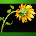 LIVING SINGLE SUNFLOWER 2 by M BALDWIN (thumbnail)