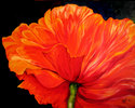 Painting--Oil-FloralA SINGLE POPPY 30x24 oil