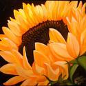 Sunflower (thumbnail)