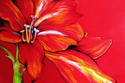 RED AMARYLLIS ABSTRACT 36x24 by MARCIA BALDWIN (thumbnail)
