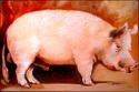 Painting--Oil-AnimalsBig Pig
