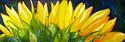 Painting--Oil-FloralSUNFLOWER SUNBURST