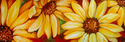 Painting--Oil-FloralSUNFLOWERS 36