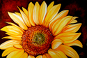 SUNBURST SUNFLOWER (thumbnail)