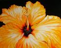 My Garden Hibiscus (thumbnail)