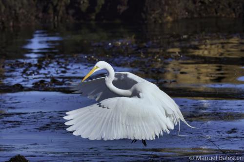 Majestic Egret