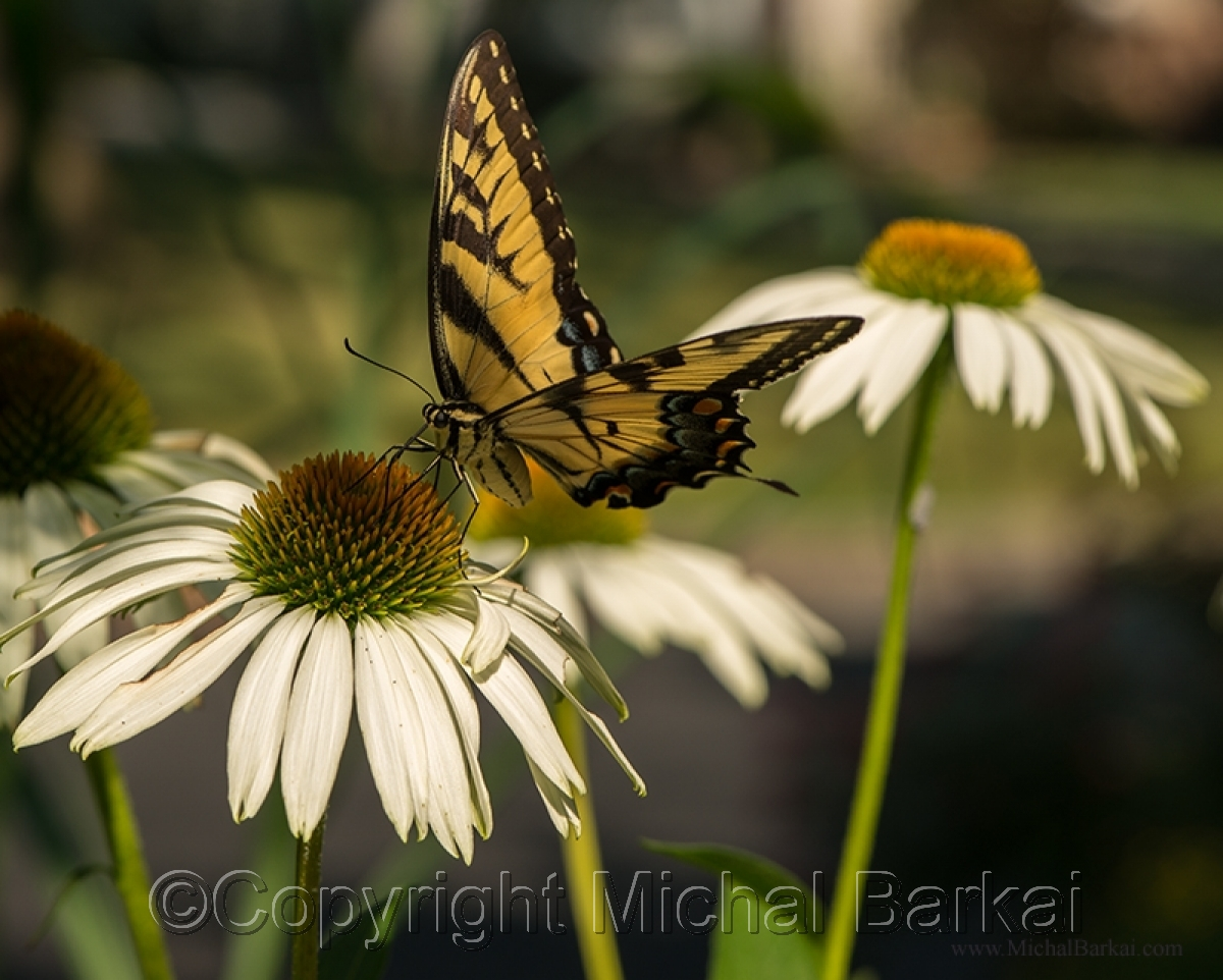 Monarch Butterfly, Corn Flowers (large view)