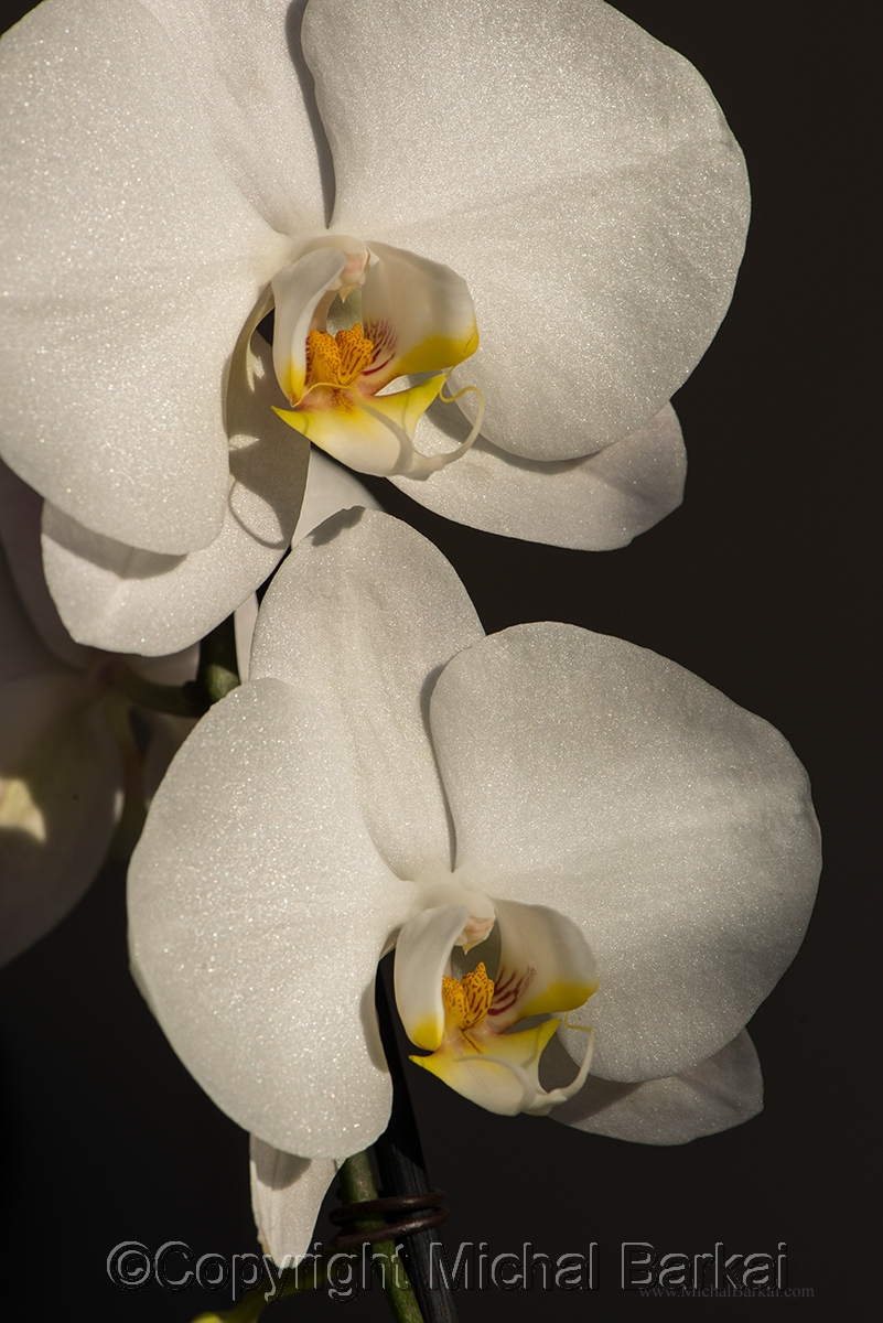 Orchids Duo (large view)