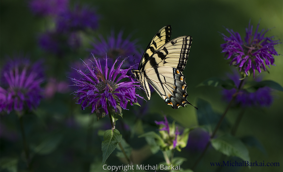 Monarch, Bee Balm (large view)