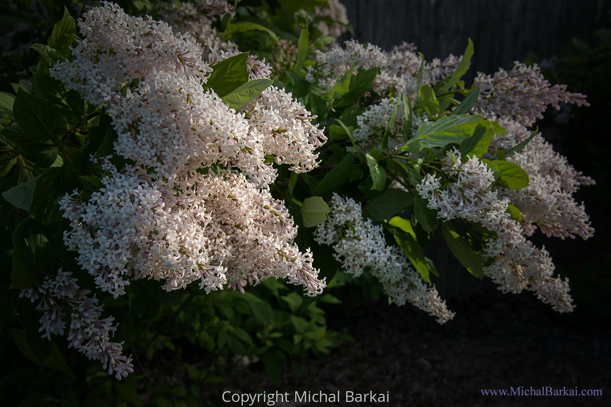 Tree Lilac (large view)