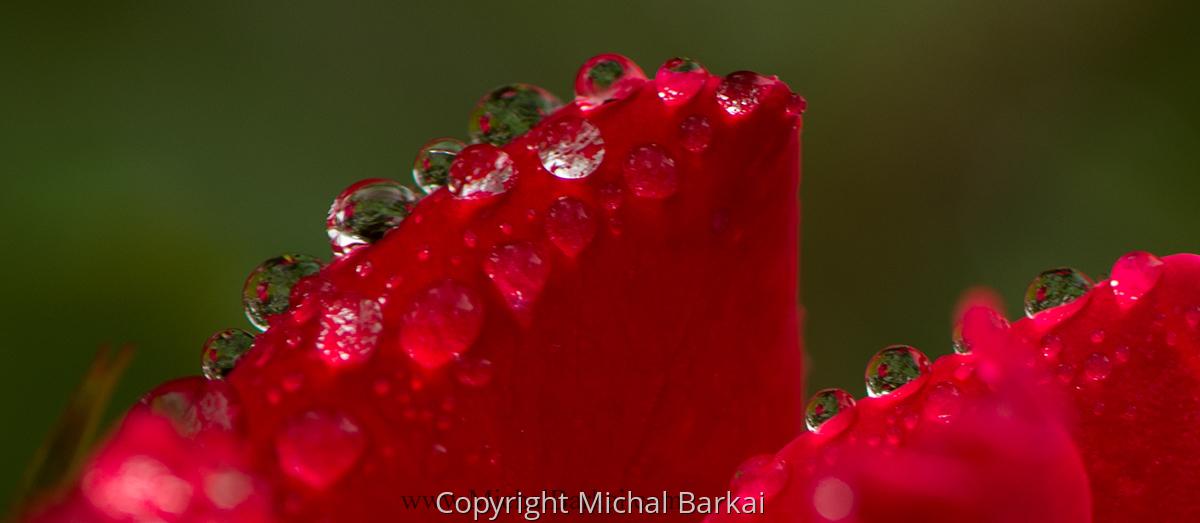 Rose Drops (large view)